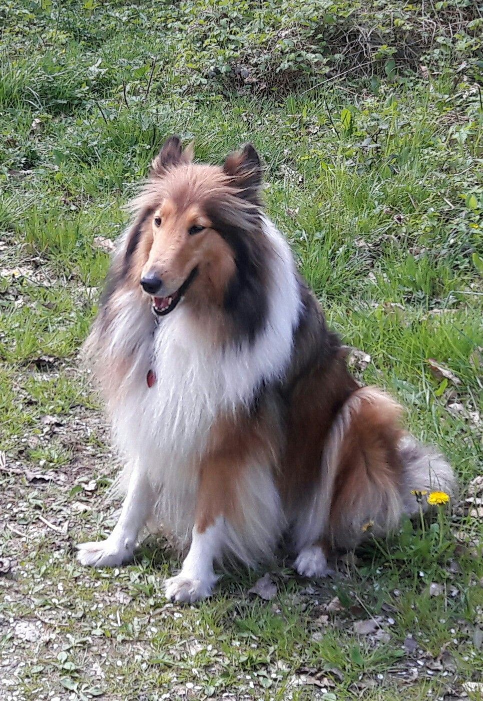 Pin By Ina On Collie Luv Sheltie Dogs Rough Collie Dogs