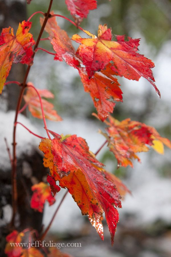 Snowtober delivers unique foliage opportunities - New England fall foliage