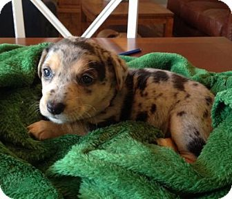 Slidell La Corgi Catahoula Leopard Dog Mix Meet Cheyenne A