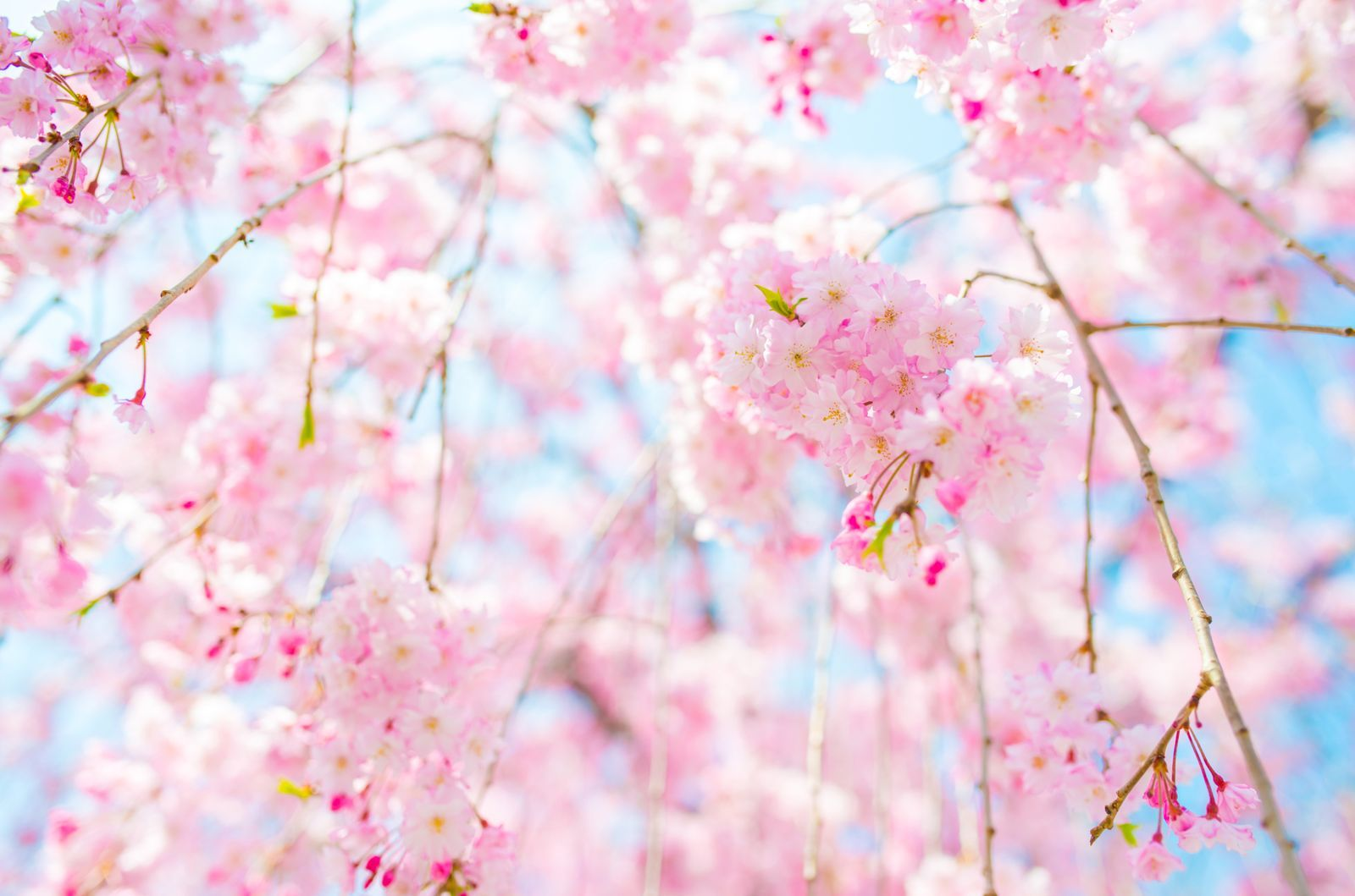 Cherry Blossom Tree Facts That You Definitely Never Knew Before Cherry Blossom Tree Blossom Trees Pretty Flowers Pictures