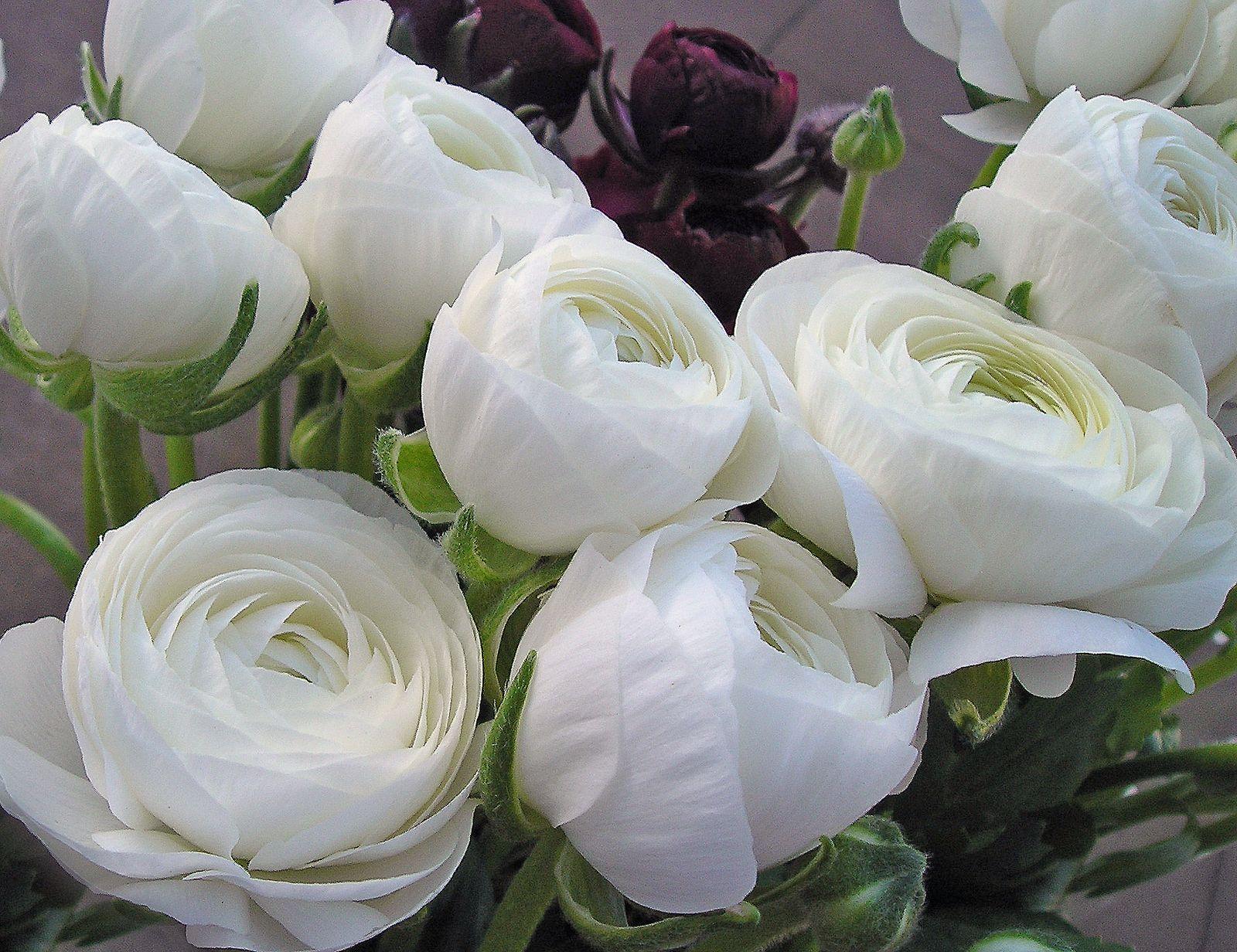 white ranunculus flowers!
