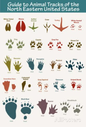picture about Printable Animal Tracks titled animal tunes printable - Google Glance toby Animal