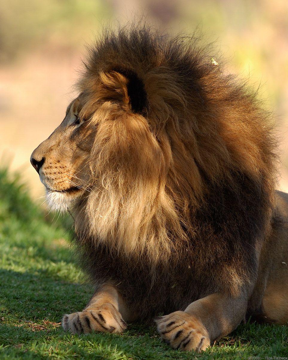 lion | ... 2011 categories lions tags lion lion mane roaring leave ...
