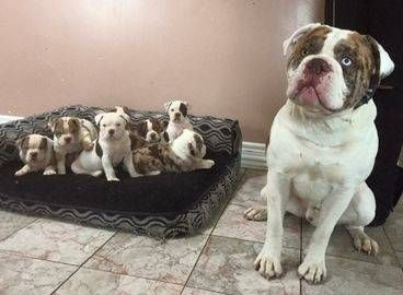 Small Family Based Abba Registered Alapaha Blue Blood Bulldog