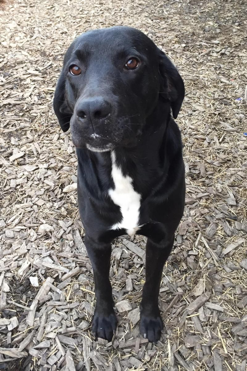 Adopt Shadow On Black Labrador Retriever Labrador Retriever