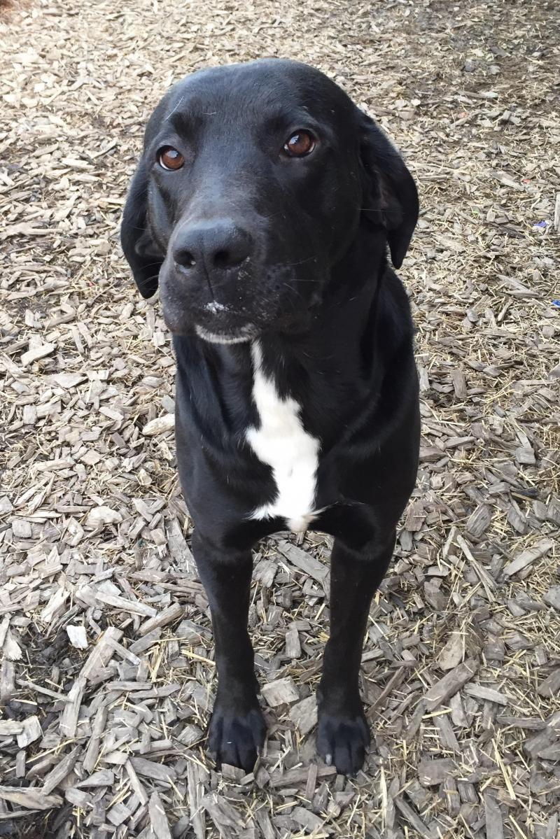 Adopt Shadow On Black Labrador Retriever Labrador Retriever
