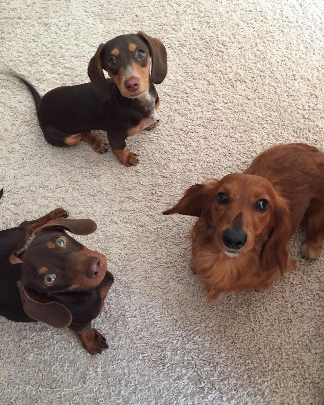 Dachshund Products Apparel And Gifts Cute Dachshunds