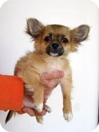 Adopt A Pet Furby Atlanta Ga Chihuahua Pomeranian Mix