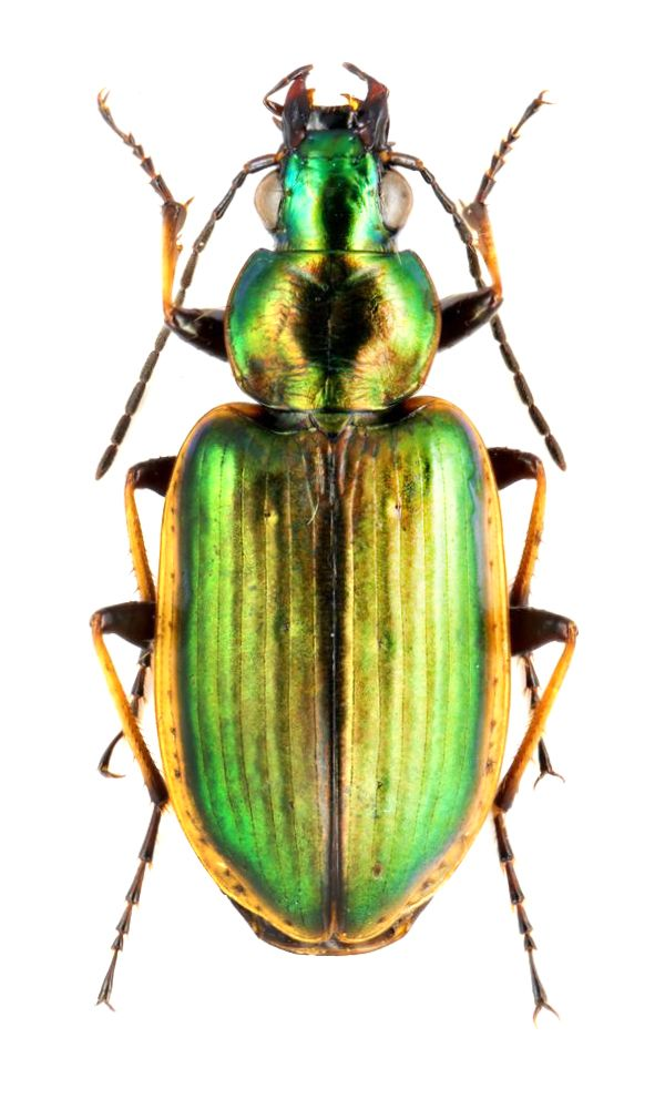 Agonum Marginatum Carabidae Tiere Naturwunder Insekten