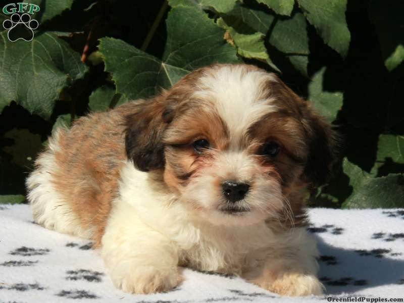 Marlo Bichon Mix Puppy For Sale In Pennsylvania Puppies Puppies For Sale Bichon