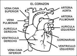 Resultado De Imagen Para Dibujo Del Corazon Y Sus Partes Para Colorear Dibujo Del Corazón Cuerpo Humano Para Niños Dibujo De Corazon Humano