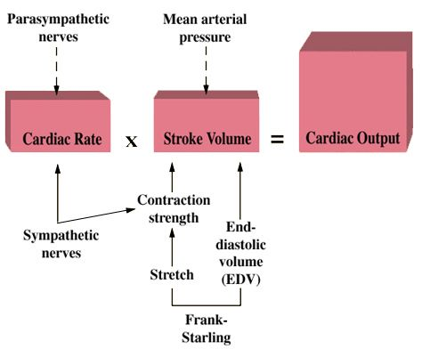 cardiac output = heart rate x stroke volume  co is the amount ejected by a