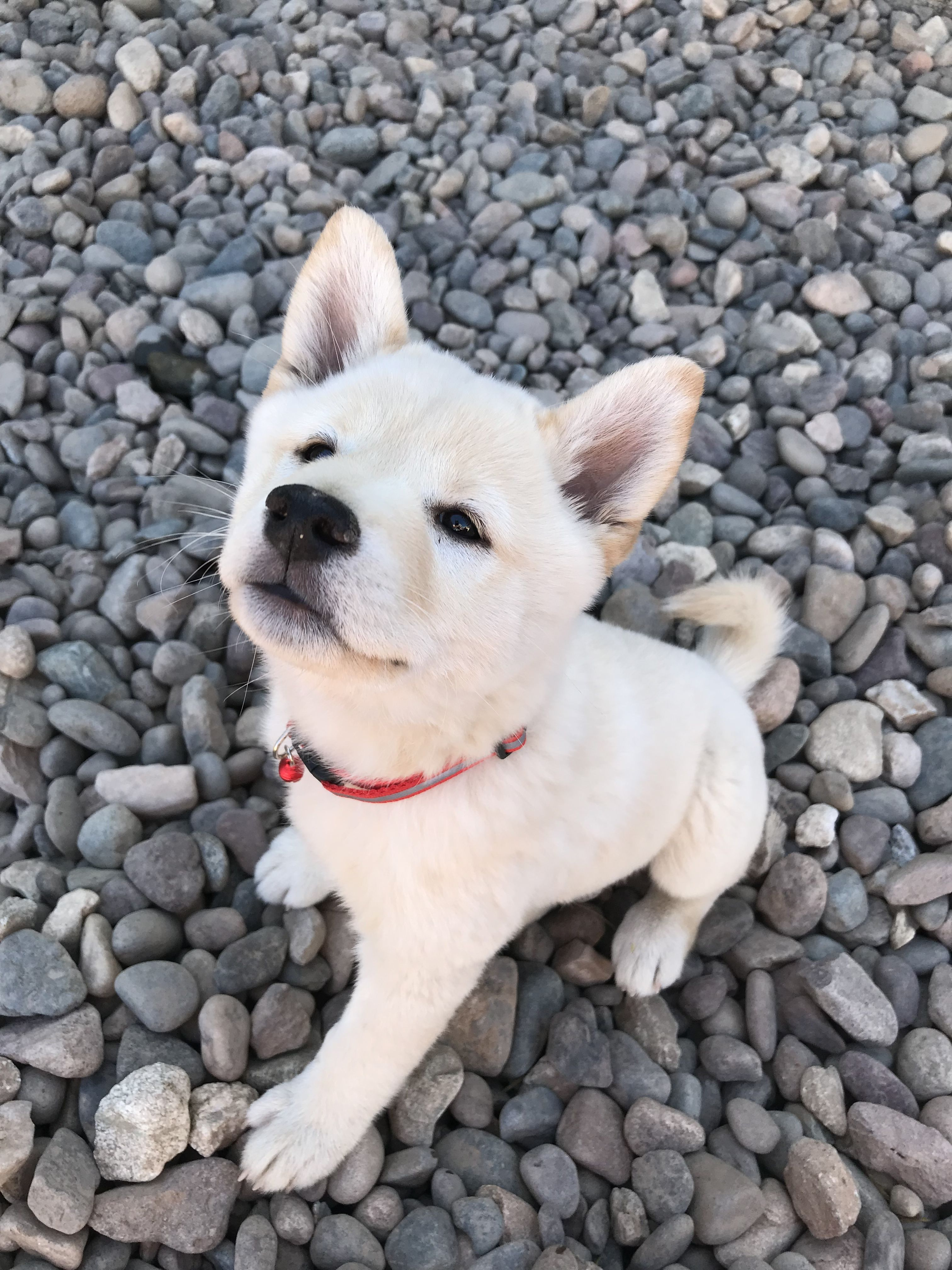Cream Shiba Inu Puppy Polar Bear Dogs Shiba Inu Funny Dog Pictures