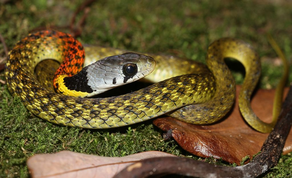 Red-necked Keelback (Rhabdophis subminiatus helleri) by cowyeow