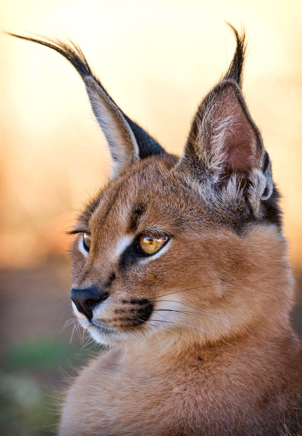 Portrait of a stunning caracal. Love those long black ear