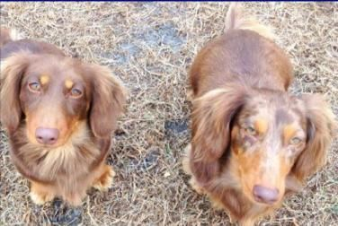 Adopt Mudge And Chester On Dachshund Dog Dogs Best Dogs