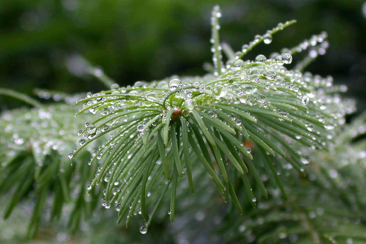 A spruce after a small shower, using the water on the needles