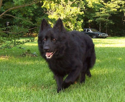 Large Oversized Solid Black Long Hair Male German Shepherd Zann