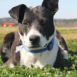 Photo 4 Staffordshire Bull Terrier Border Collie Mix Dog For