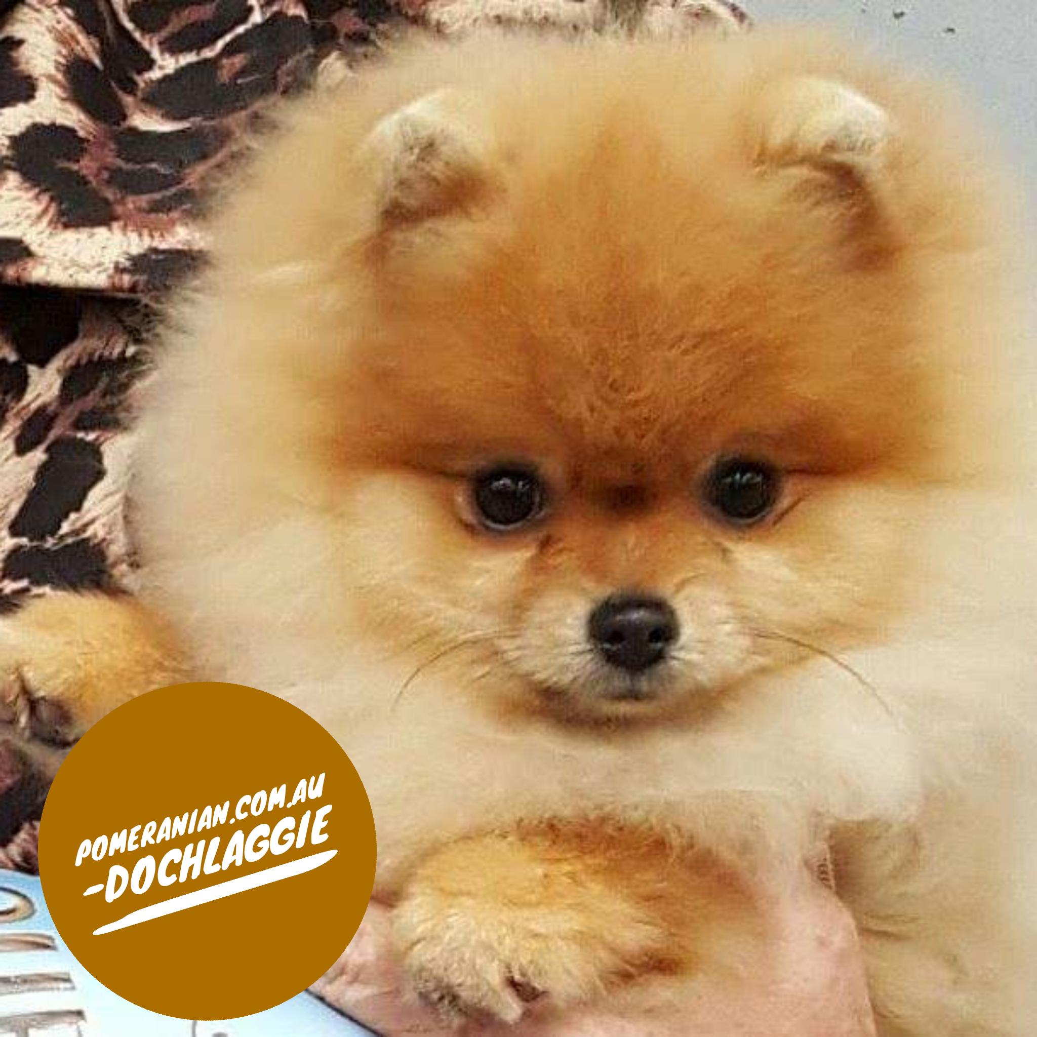 Dochlaggie Pomeranian Puppies Melbourne Dochlaggie