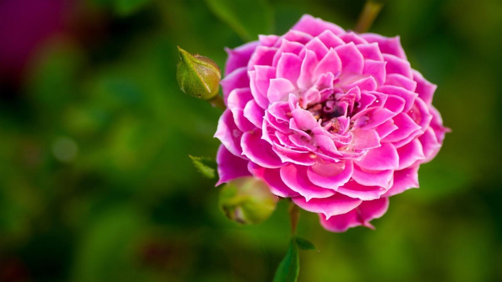 Pink big beautiful flowers on light green wallpapers - Big rose flower wallpaper ...