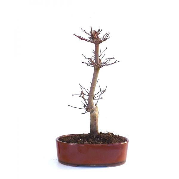 acheter ce tr s beau bonsa acer palmatum deshojo shohin de 25 cm 140206 import du japon chez. Black Bedroom Furniture Sets. Home Design Ideas