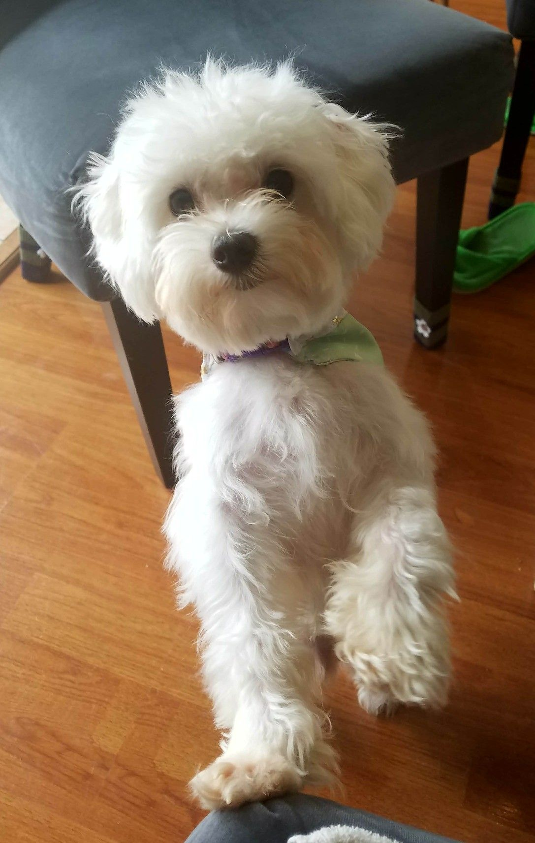 Nismo The Maltese Cute Small Dogs Cutest Small Dog Breeds