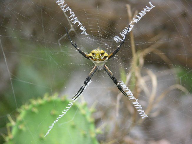 Pin By Gail Yates On The Lone Star State Garden Spider Poisonous
