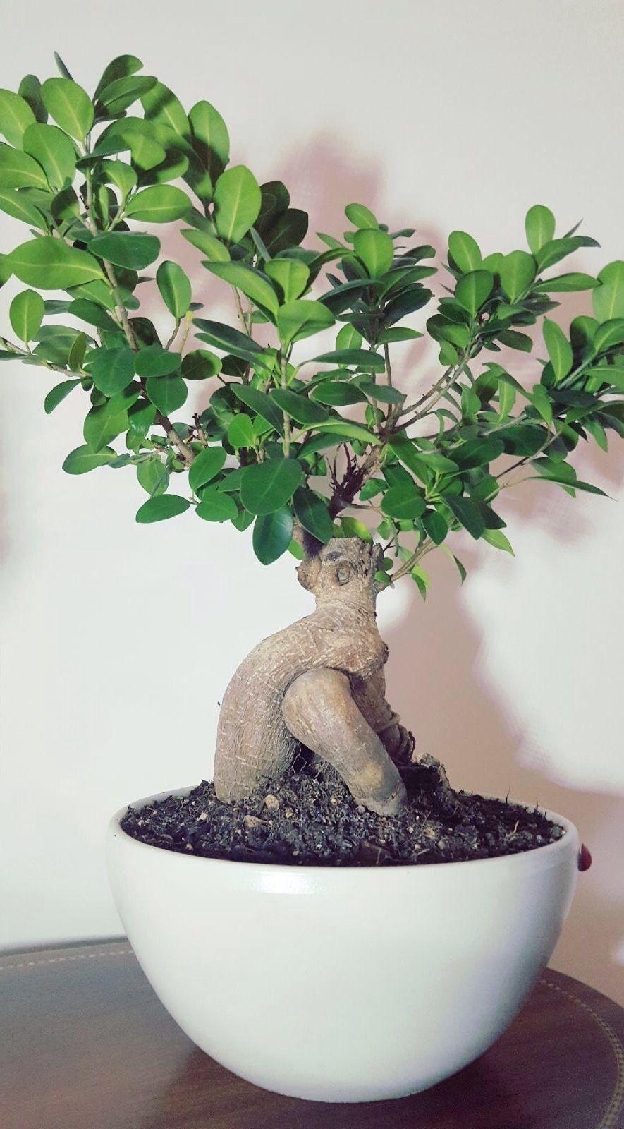 Ficus Ginseng Bonsai Bonsai Ficus Ginseng Bonsai Ficus Ficus Microcarpa