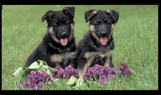 German Shepherd Dogs Puppies Pre Pasted Wallpaper Wall Border