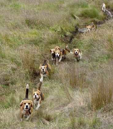 Beagle Pack This Is An Awesome Picture Beagle Hunting Beagle
