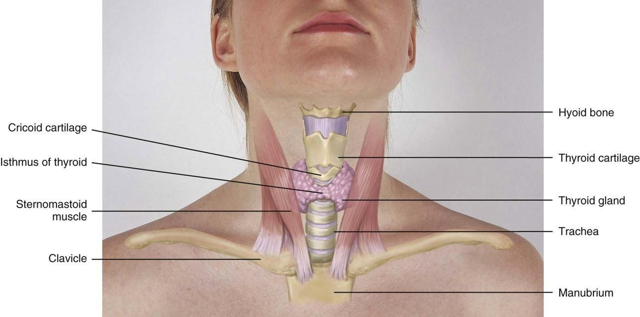 The thyroid gland has two lobes, both conical in shape, each curving ...