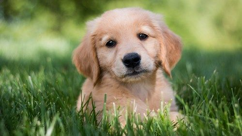 Golden Retriever Dog Puppy Wallpaper Puppy Wallpaper Golden