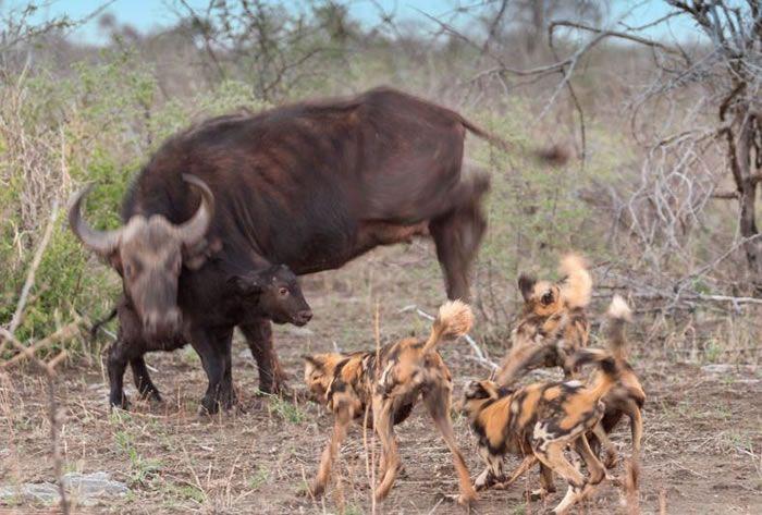 Amazing Extreme Nature Top 50 Awesome Animal Attacks Stock Photo Album