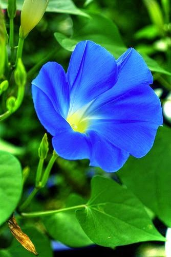 Morning Glory Flowers And Gardens Morning Glory Flowers Beautiful Flowers Blue Morning Glory