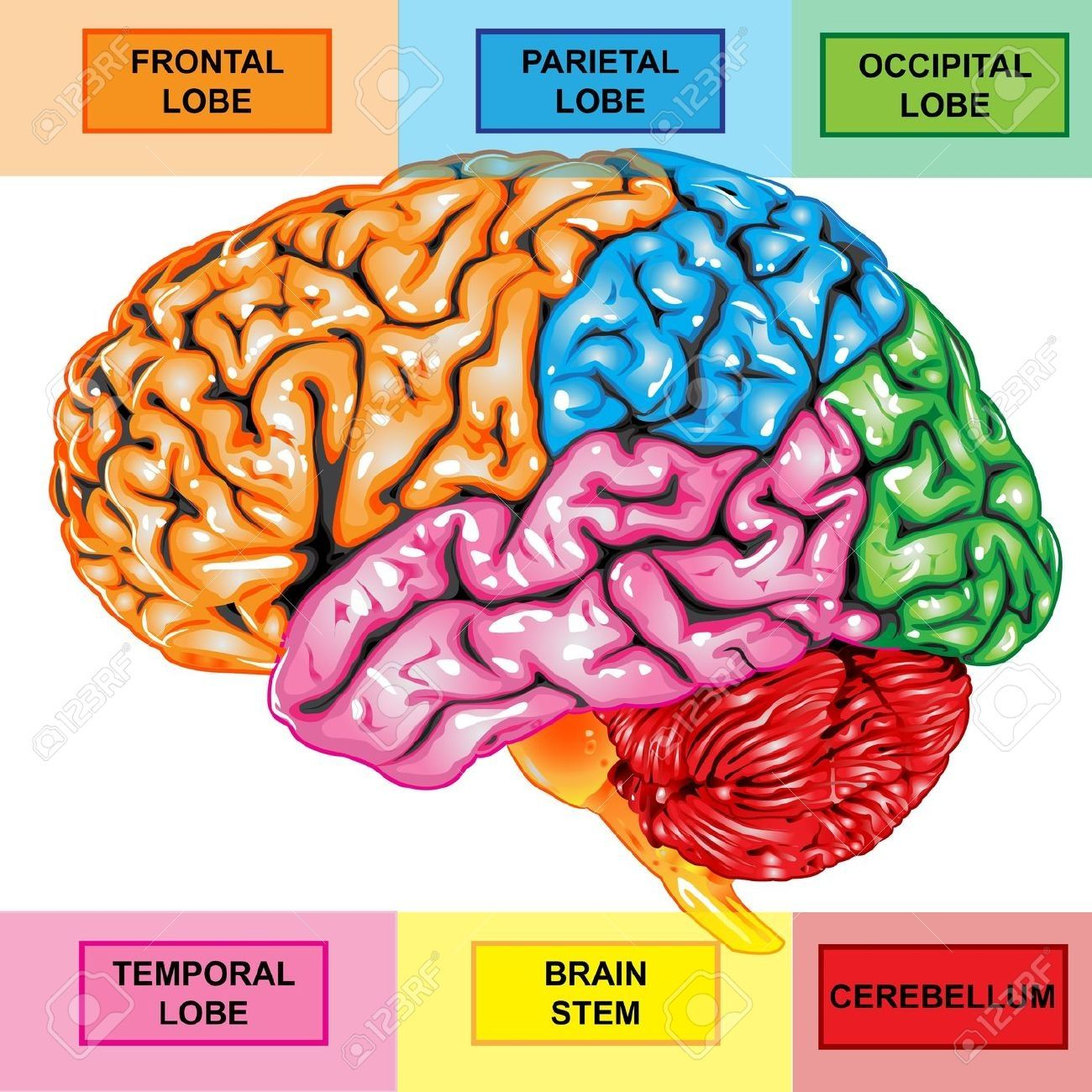 Human Anatomy Diagram. Science Developed Human Brain ... | Brain ...