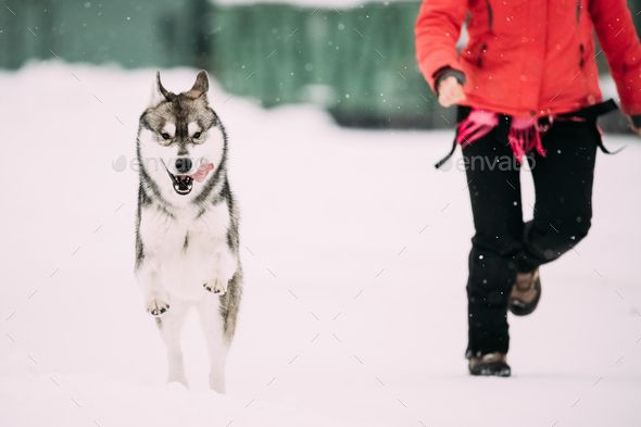 Young Husky Dog Play And Fast Running Outdoor Near Woman In Snow