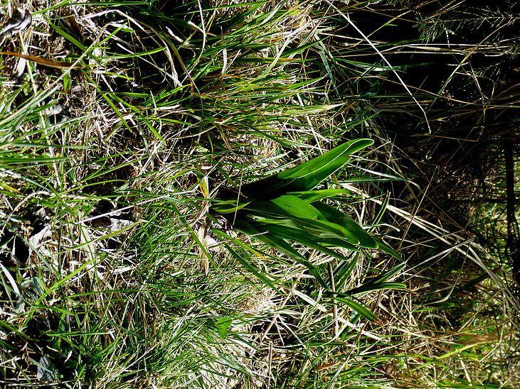 Herbstzeitlose (giftig!) mehr auf meinem Blog TEILET.com