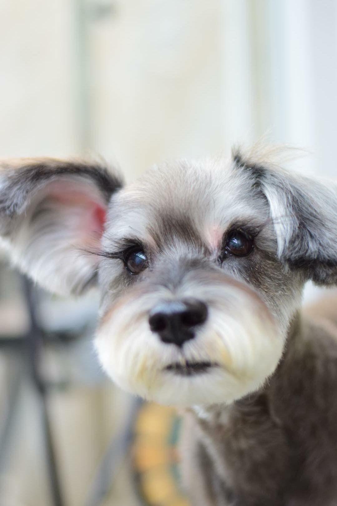little schnauzer face. | pup. | miniature schnauzer