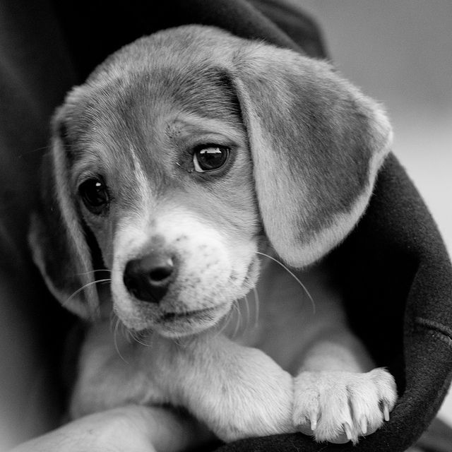 Snuggle Beagle Dog Art Portraits Photographs Information And