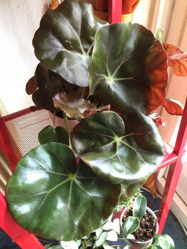 begonia x 39 erythrophylla 39 b gonia n nuphar plante exotique d 39 interieur paris 19e 75 mon. Black Bedroom Furniture Sets. Home Design Ideas
