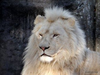 Mooie leeuw in Ouwehands Dierenpark