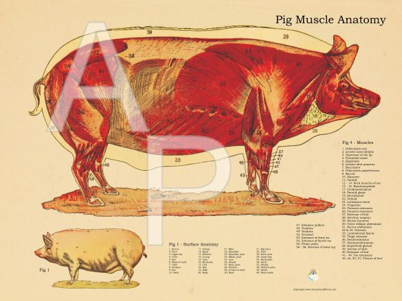 Pig muscular anatomy poster medical information for children pig muscular anatomy poster ccuart Gallery