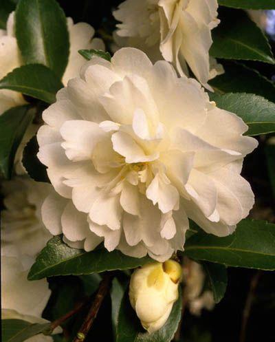 Camellia Sasanqua Fuji No Mine Fotografia De John Glover Uno De Los Primeros Y De Los Mas Importantes Fotografos Camellia Plant Spring Plants Camellia Flower