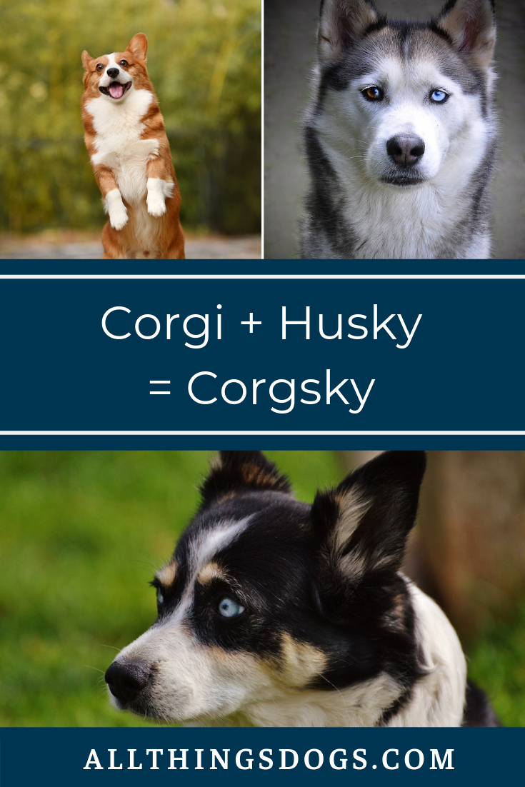 Corgi Pug Mix Pug Corgi Mix Corgi Mix Corgi Dachshund