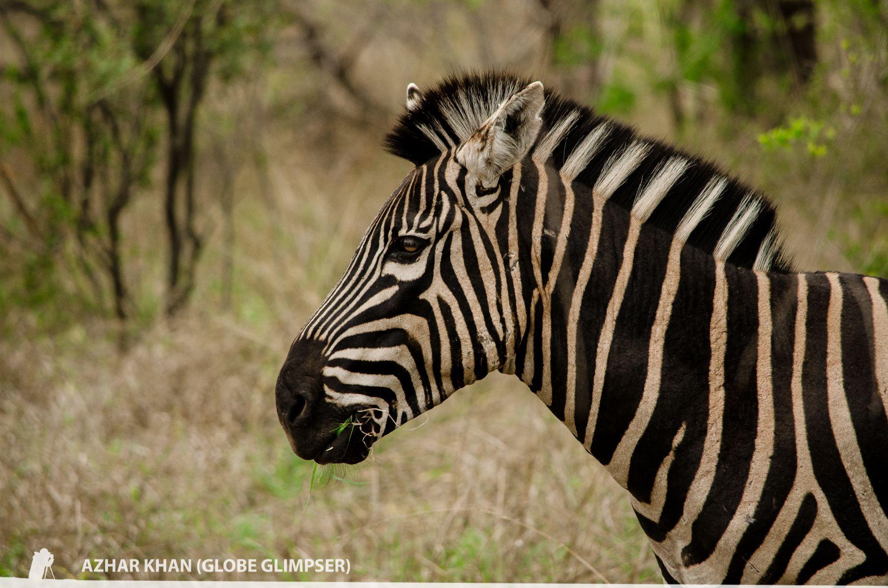 Zebra Portrait, Kuname, karongwe, South Africa