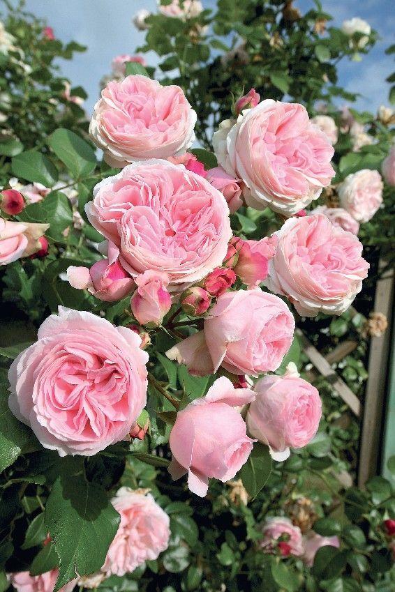 Rosier 'L'Alhambra' (grandes fleurs) Grandes fleurs