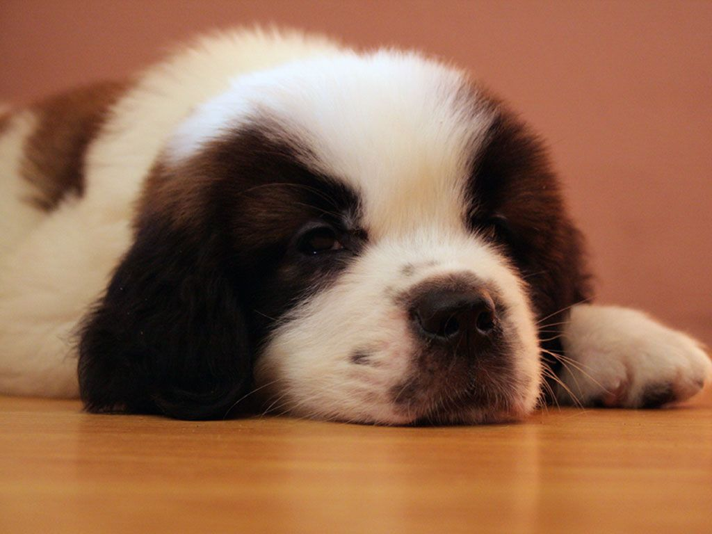 crushed dreams of having a saint bernard pup I ended up having the opportunit y to choose one of pauline's pups or one from another breeder (of a different breed), i could have gone either way in terms of which breed i chose, but it came down to the fact that i was very comfortabl e with pauline and her breeding practices and i knew i would receive lifelong breeder support from her, without question - which in my opinion is just as important as getting a healthy, happy dog.