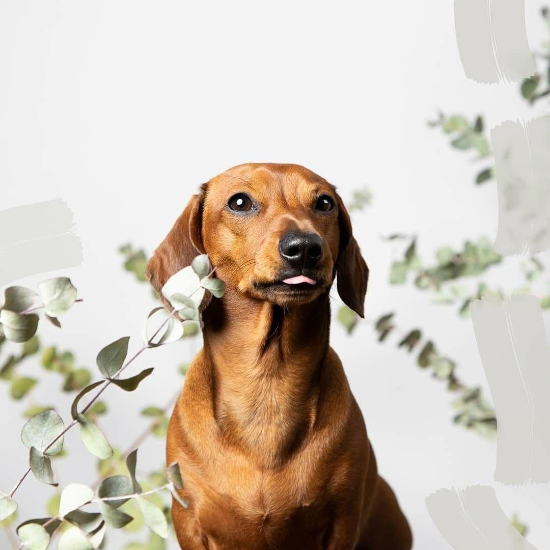 Dachshund Dachshund Dogs Animals