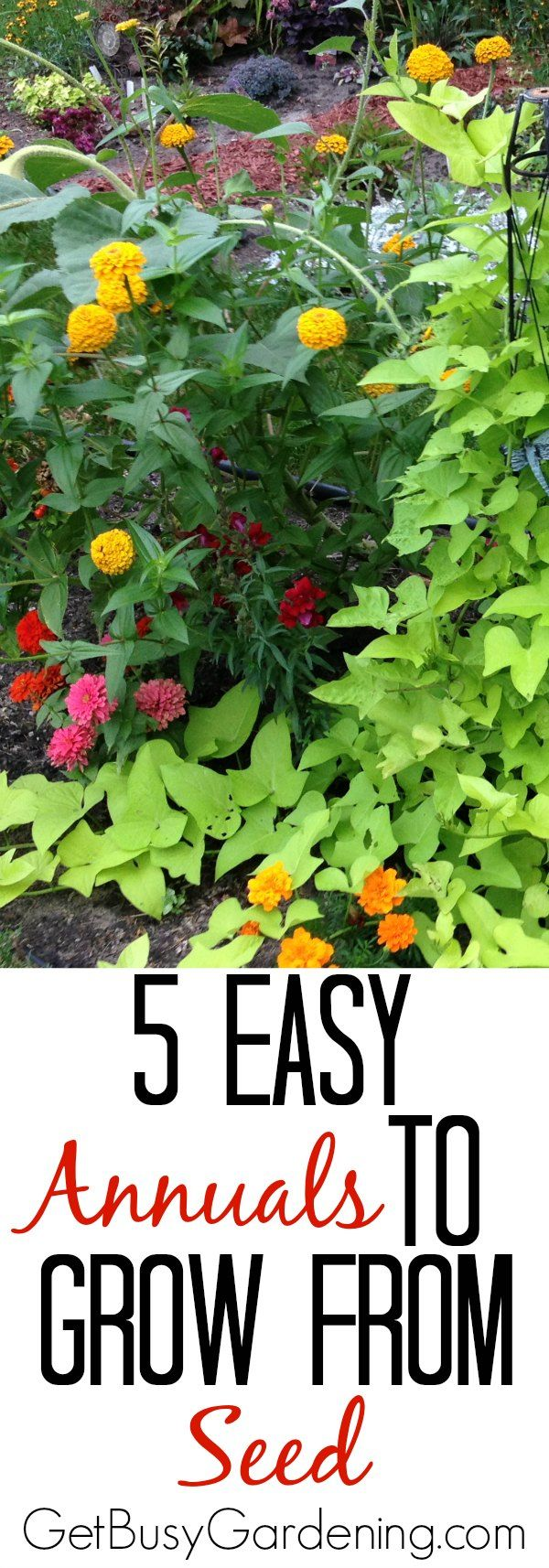 13 easy annual flowers to grow from seed gardening seeds pinterest growing seeds annual. Black Bedroom Furniture Sets. Home Design Ideas